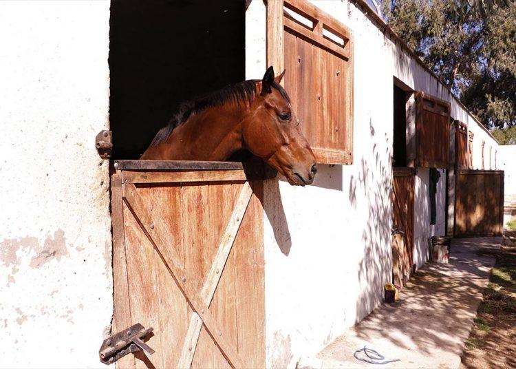Actualmente quedan solo 30 caballos, la mayor parte del día permanecen encerrados en sus pesebreras.